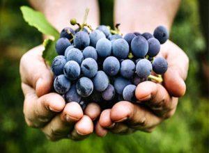 अल्जाइमर के मरीजों के लिए फायदेमंद है काले अंगूर